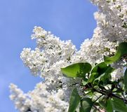White blooming lilac in springtime. Selected focus. stock photo