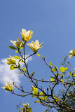 White Blooming Magnolia Flower Buds on the Branch Stock Photography