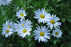 White blooming Marguerite flowers Stock Image