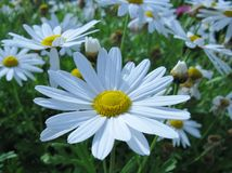 White blooming Marguerite flowers Stock Photo