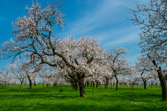 White blooming orchard Royalty Free Stock Photography