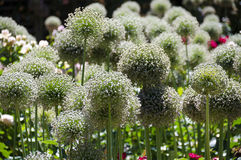 White blooming ornamental onion. Flower bed in an ornamental garden with white blooming ornamental onion Stock Photography