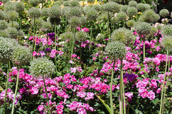 White blooming ornamental onion and pink roses. Flower bed in an ornamental garden with white blooming ornamental onion and pink roses Stock Photo