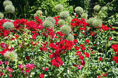White blooming ornamental onion and red roses. Flower bed in an ornamental garden with white blooming ornamental onion and red roses Royalty Free Stock Images