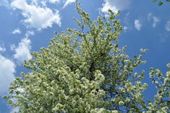 White blooming pear tree. On the blue sky in may Royalty Free Stock Image