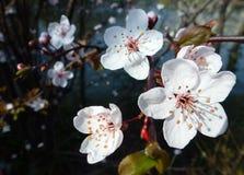 A white blooming prunus in spring Stock Image
