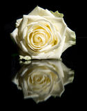 White blooming rose and reflection Stock Images