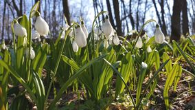 White blooming snowdrop folded or Galanthus plicatus with water drops in light breeze. Low angle. Sunshine. Sunrise stock video footage