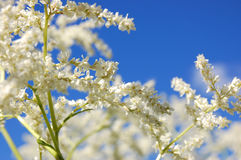 White blooming spirea. Spirea or goat's beard blooming against blue sky Stock Photo
