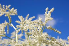 White blooming spirea. Spirea or goat's beard blooming against blue sky Royalty Free Stock Photography
