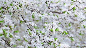 White blooming spring fruit tree texture stock video