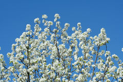 White Blooming Tree Royalty Free Stock Photography