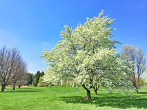 White blooming tree in spring garden Royalty Free Stock Photos