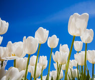 White blooming tulips in the spring garden Royalty Free Stock Photography