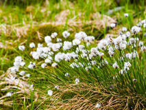 White blooming of tussock cottongrass, Eriophorum vaginatum, perennial herbaceous flowering plant Stock Photo