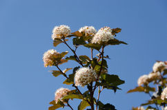 White blooming viburnum snowball bush blooms Royalty Free Stock Photography