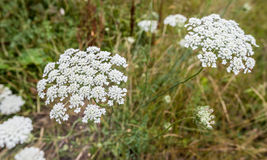 White blooming Wild Carrot plants Stock Photos