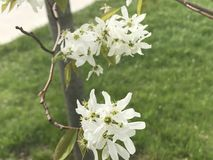 White blooms. Close up flowers with grass Stock Image