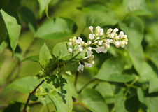 White blooms of Lilac Stock Photography