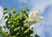 White blooms of Lilac Royalty Free Stock Image