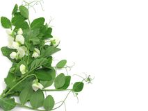 White blooms of a snow pea Stock Images