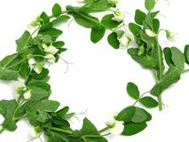 White blooms of a snow pea Stock Photos