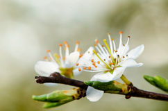 White blooms Royalty Free Stock Photo