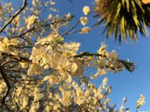 White blooms on tree. Close up of white flower blooms on tree branches against blue skies Royalty Free Stock Images
