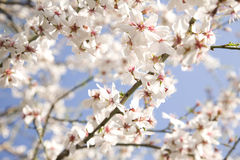 White blossom. Branch in spring Royalty Free Stock Photo
