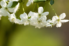 White blossom royalty free stock images