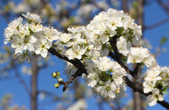 White Blossom. Beautiful white blossom on tree branch Royalty Free Stock Photo
