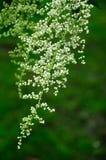 White blossom Stock Images