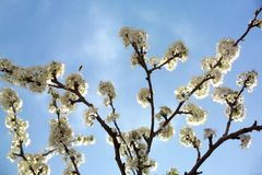 White blossom Stock Photography