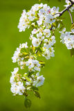 White blossom. A branch of a tree covered with beautiful white blossom, green background Stock Photos
