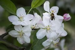 White blossom Royalty Free Stock Photography