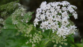White blossom of Angelica flower. perennial herbs with flys. stock footage