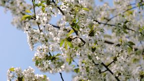 White blossom apple tree branches swaying in the wind in a park. Beautiful white blossom apple tree branches swaying in the wind in spring at the bright sky stock video