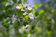 White blossom apple tree and green leafs stock image
