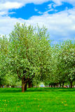 White blossom of apple trees Stock Photos
