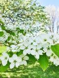 White blossom of apple trees Stock Photo