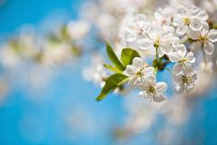 White blossom of apple trees in springtime Stock Photo