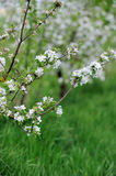 White blossom of apple trees in springtime Royalty Free Stock Image