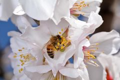 White blossom with bee. Macro shot of tree with white blossom with honey bee Stock Photos