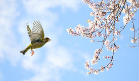White blossom and bird flying in blue cloudy sky Stock Photos