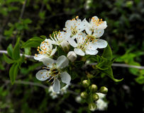 White Blossom Royalty Free Stock Image