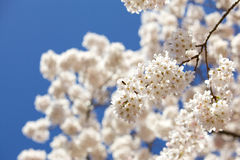White Blossom Branch. A branch full of white blossom in the spring against a blue sky Royalty Free Stock Photos