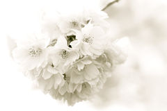 White Blossom Branch. A delicate branch of white blossom in the spring Royalty Free Stock Images