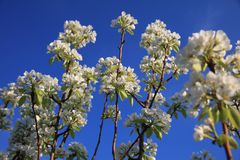 White blossom branch, apple fruit tree in spring Royalty Free Stock Photo