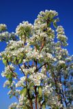 White blossom branch, apple fruit tree in spring Royalty Free Stock Image