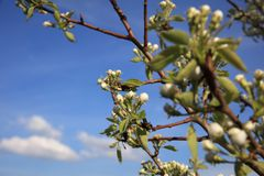 White blossom branch, plum fruit tree in spring Stock Image